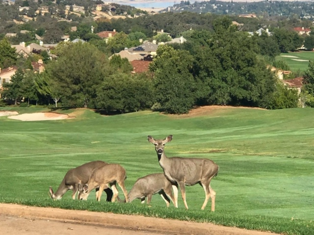 deer at Serrano Country Club